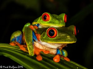 Red-Eyed Leaf Frogs